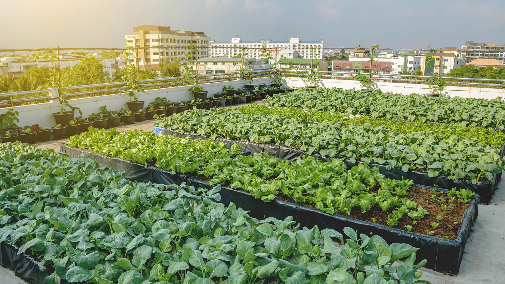 Rooftop vegetable garden with a city landscape in the background, and a sunset